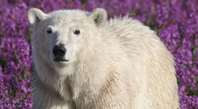 Movie still, polar bear