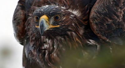 Movie still, golden eagle