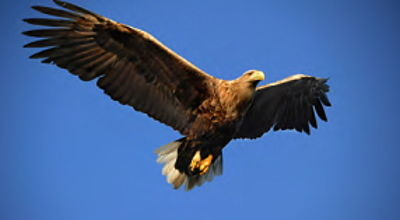 Movie still, white-tailed eagle