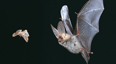 Common long-eared bat catch prey