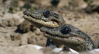 Snake Lizard Turtle Magnificent Reptiles 2013 Congo Ag 4 Pc Set Crocodile